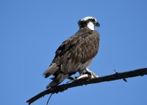 Osprey-Okanagan-Lake-1