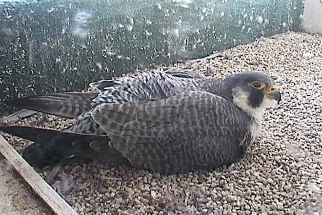 Five Peregrine Falcon Nests Worth Watching This Spring