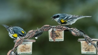 Yellow-rumped Warblers at Feeder_660x440