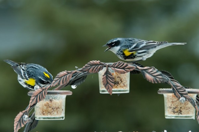 Photo gallery: Six pictures of Yellow-rumped Warbler