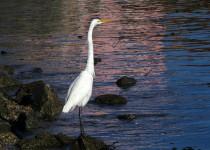 egretsbritton