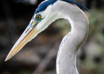 great-blue-heron-super-super-close