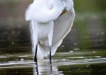 great-egret10