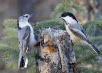 White-breasted Nuthatch and Black-capped Chickadee