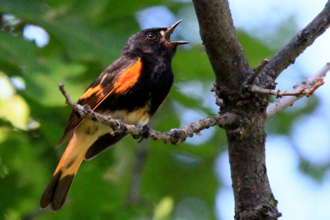 Where boldly marked American Redstart migrates, and when