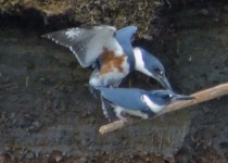 Belted-Kingfishers-mating
