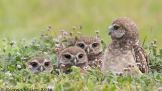 Burrowing-Owls-850-1