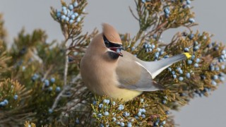 Cedar Waxwing in Alpine, New Jersey, by Harry Collins.