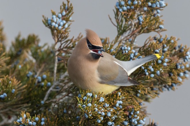 How to distinguish male and female waxwings