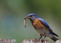 DSC0079-Eastern-Bluebird