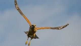 DSC0089-Red-shouldered-Hawk