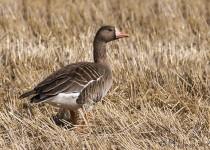 White-fronted Goose, Bradwell, Saskatchewan