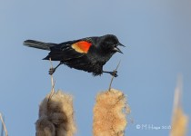 Red-winged Blackbird, male, Donna Birkmaier Park, Saskatoon, Sas
