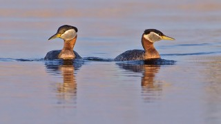Red-necked Grebes