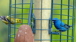 Indigo Bunting and American Goldfinch