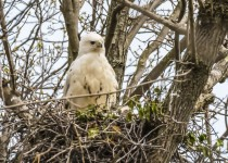 LEUCISTIC RED TAILED HAWK