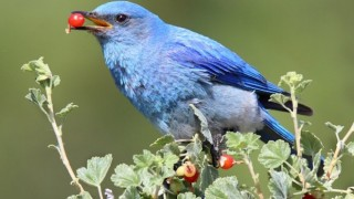 Mountain Bluebird Berry_660x440