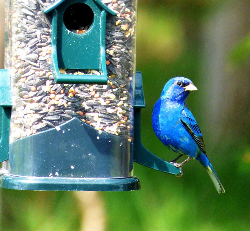 Indigo Bunting - BirdWatching