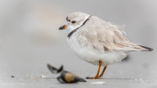 Piping Plover at Barnegat Light, New Jersey, by Harry Collins.