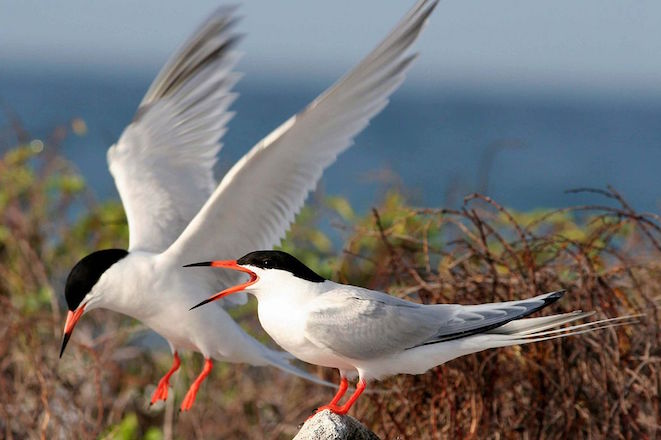 The trans-Atlantic terns of Great Gull Island