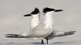 Two Sandwich Terns on the beach at Fort De Soto State Park, near St. Petersburg, Florida.