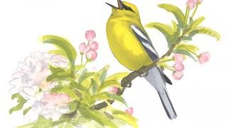 Blue-winged Warbler, singing, artwork by David Allen Sibley.