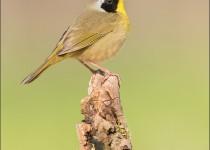 tn_Common-Yellowthroat_4102-1