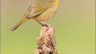 tn_Common-Yellowthroat_4102-1