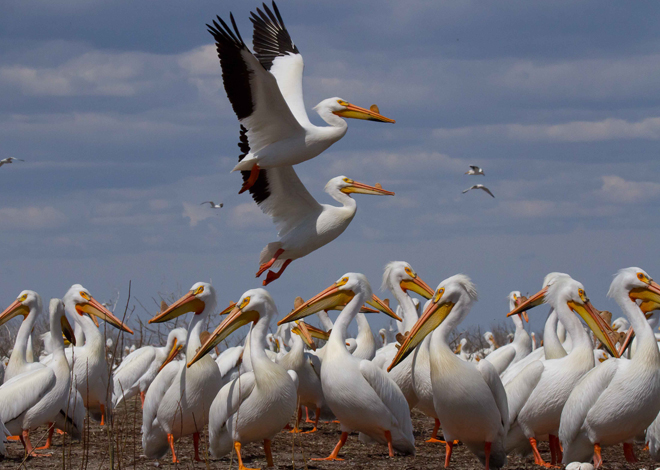 Pelican-tracking project uncovers impact of Gulf oil spill in Minnesota