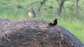 Wilson's Snipe Red-winged Blackbird