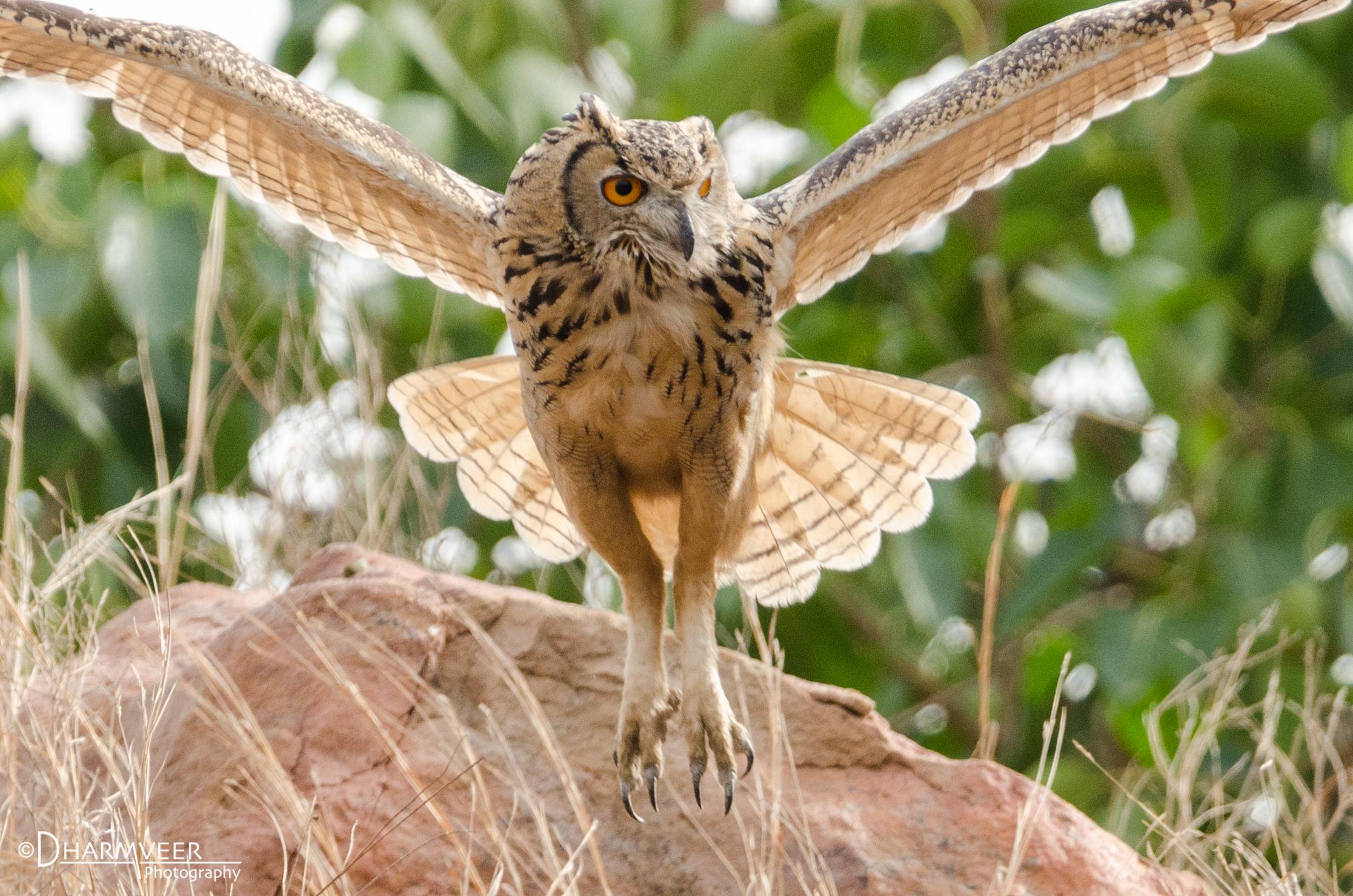 Indian Eagle-Owl