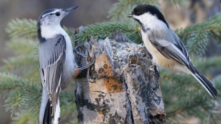 White-breasted Nuthatch and Black-capped Chickadee in Red Deer, Alberta, May 2015, by John Pizniur.