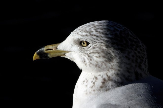 Julie Craves tells how to identify when a gull is 'foot paddling'