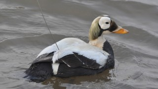 A male Spectacled Eider with an implanted satellite transmitter floats on gray water.