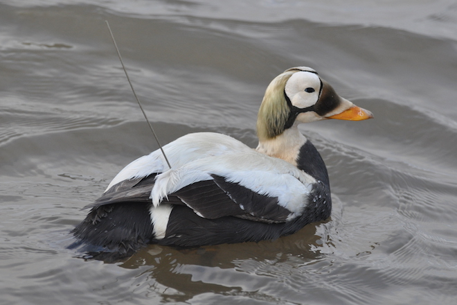 Eider shifts hint at climate change in Arctic