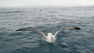 A Wandering Albatross swims near Kaikoura, New Zealand, March 2014.