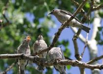 Mountain Bluebirds