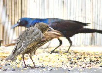 European Starling and Common Grackles