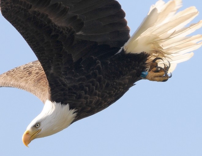 Seven festive photographs of Bald Eagle