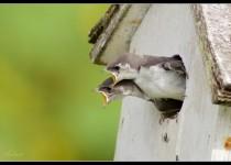 Violet-green Swallows