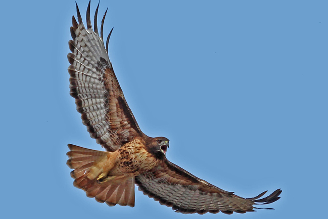Wyoming study finds Red-tails make loop migration