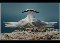 Black-naped Terns