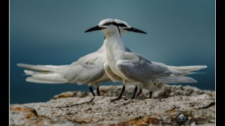 Black-naped Terns
