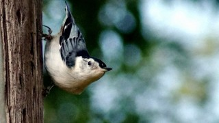 White-breasted Nuthatch is a species at risk of window collisions.