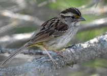 White-throated-Sparrow-tan-striped-morph