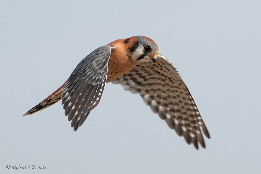 Connecting the dots for American Kestrel