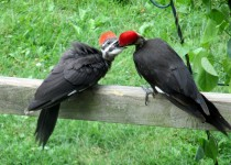 Baby-pileated-woodpecker-being-fed-by-parent