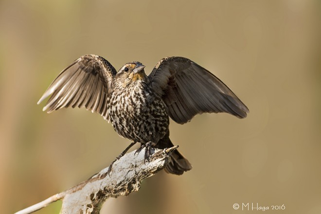 Red-winged Blackbird, female, Lakewood Park, Saskatoon, Saskatch