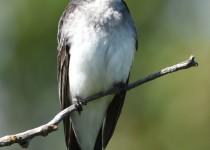 Eastern-Kingbird-Nr-Millarville