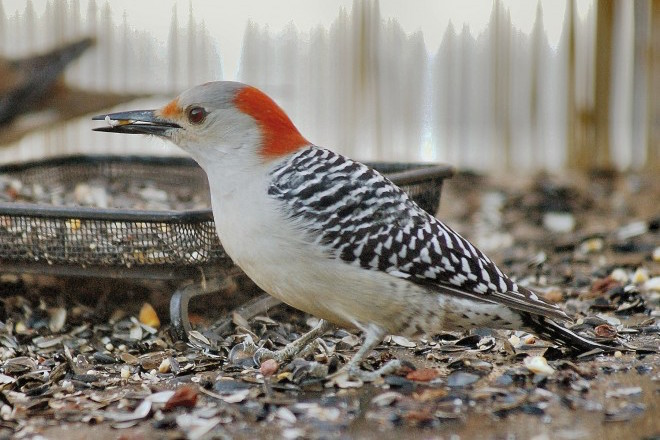 How Red-bellies turned a bad spot into a good nest